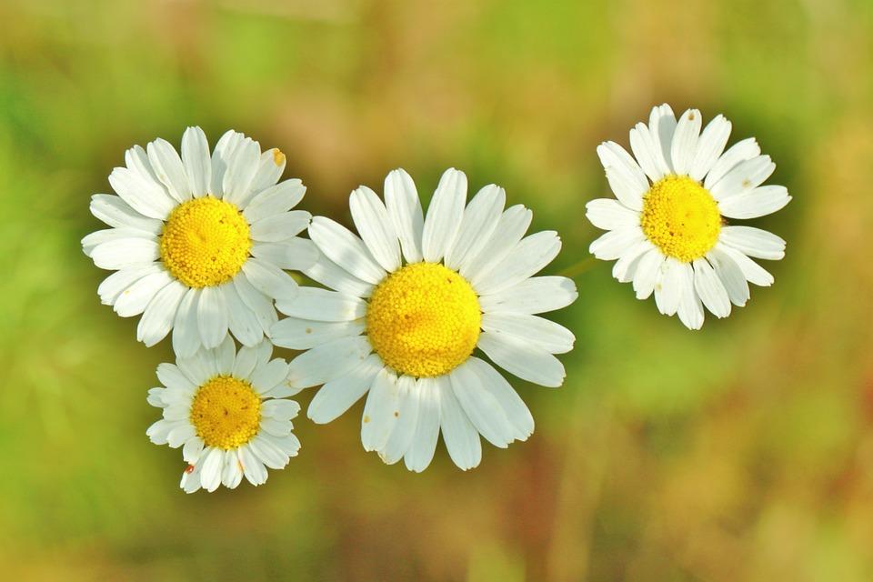 Fleur Camomille